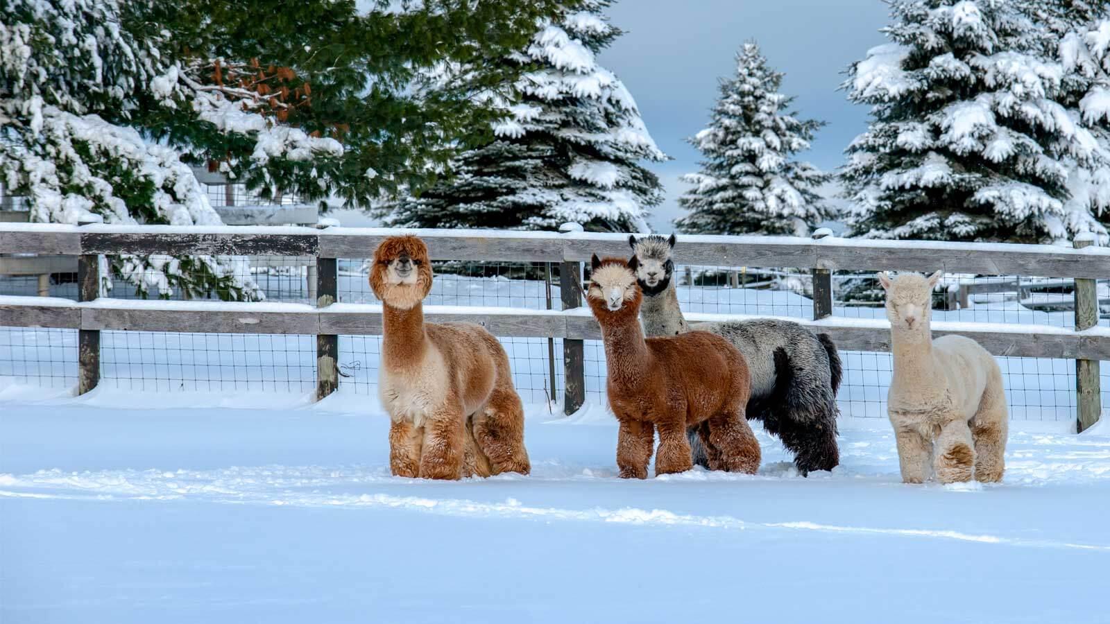 Alpacas-in-Snow