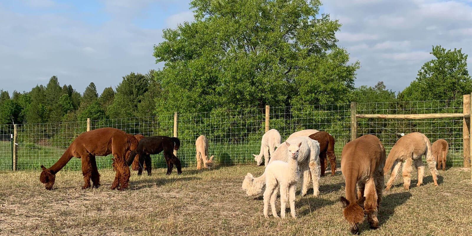 Alpacas-Grazing-in-Summer-in-Michigan